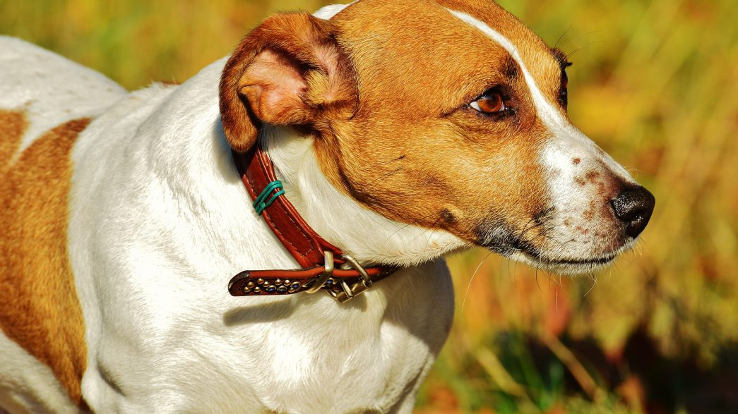jack russell 1034736 1920